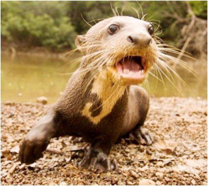 The giant river otter or water dog of guyana guyanese for Water dog fish