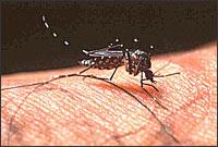 Dengue Fever - Aedes Aegypti Mosquito