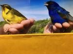 Kiskadee and Blue Sackie birds
