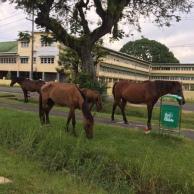 Stray horses on Carmichael Street. near Bishops' High School