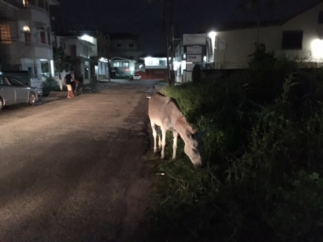 A donkey grazing unattended, on Quamina Street in Georgetown at 7.45 at night.