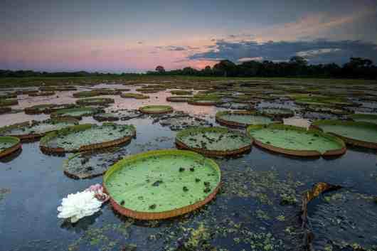 Giant Water Lily - Victoria Amazonia - Pantanal - Mato Grosso do Sul - Brazil